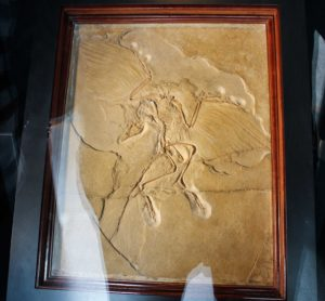 Solnhofen Fossil Archaeopteryx - Berlin specimen