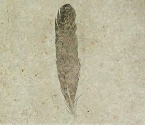 Solnhofen Fossil - Archaeopteryx feather - positive side