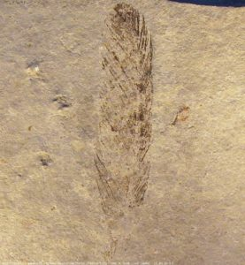 The first specimen of Archaeopteryx found in 1861.
