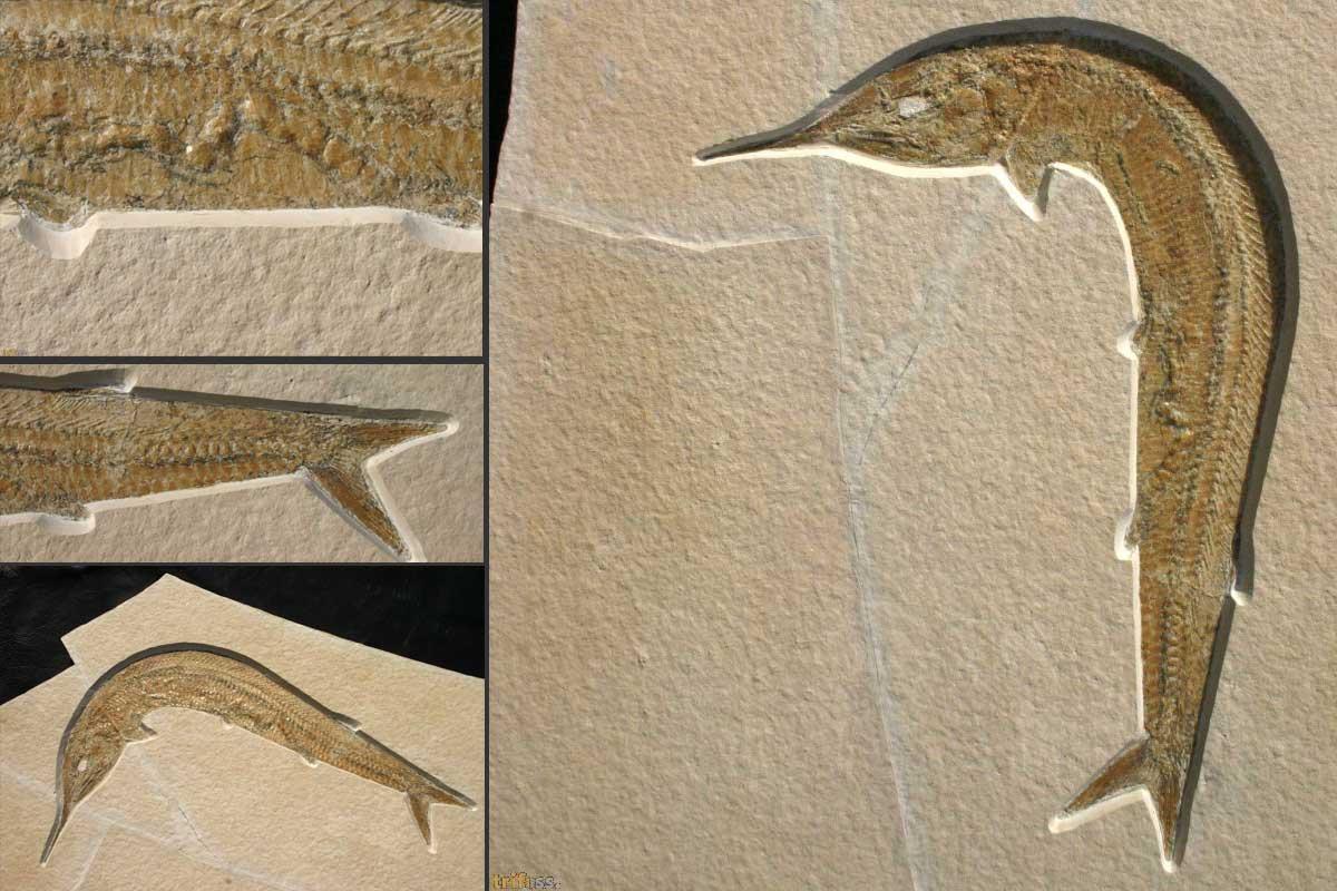 http://fossils-for-sale.de/wp-content/uploads/2017/03/Aspidorhynchus-1.jpg
