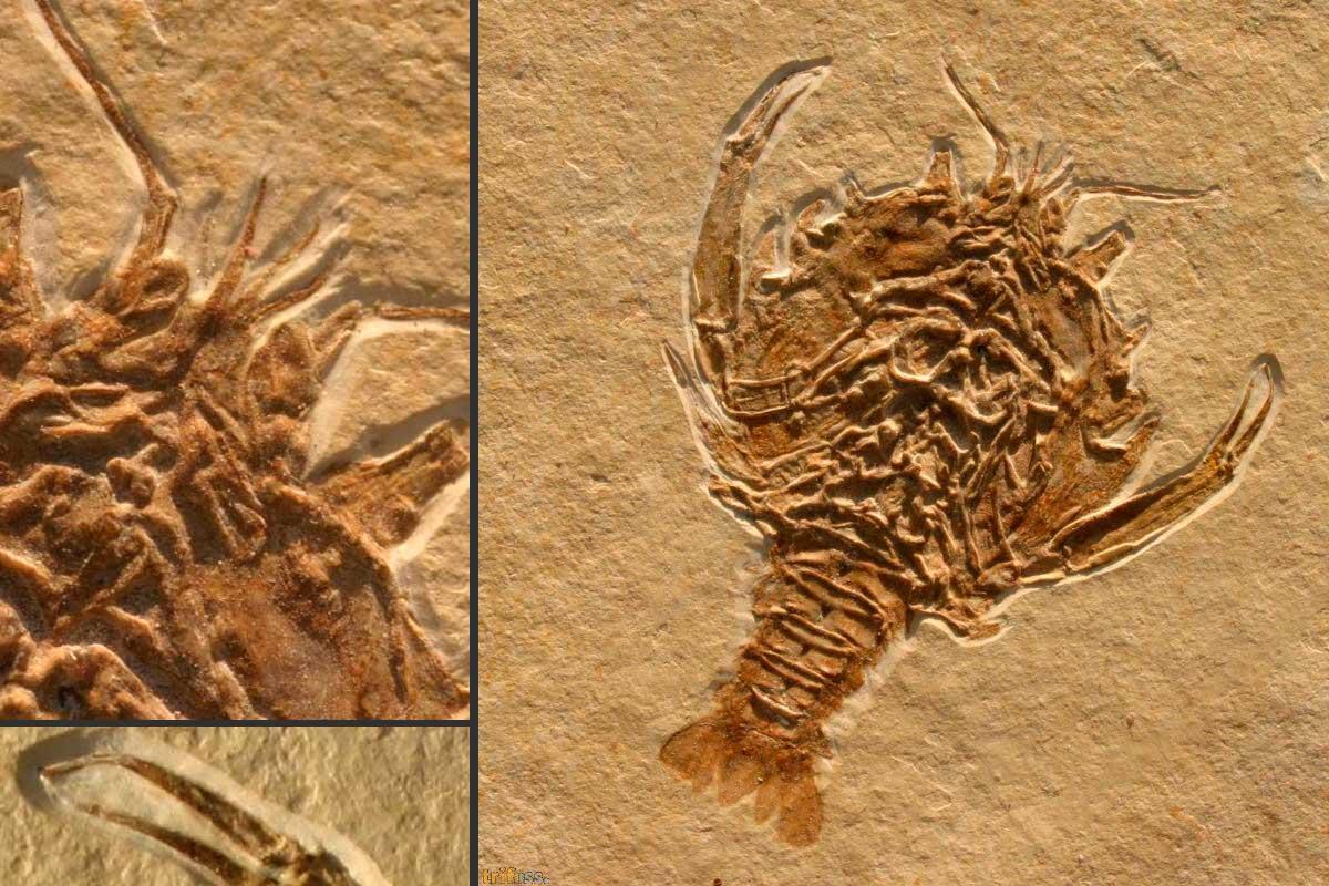 http://fossils-for-sale.de/wp-content/uploads/2017/03/Eryon-arctiformis-SCHLOTHEIM-1820-1.jpg