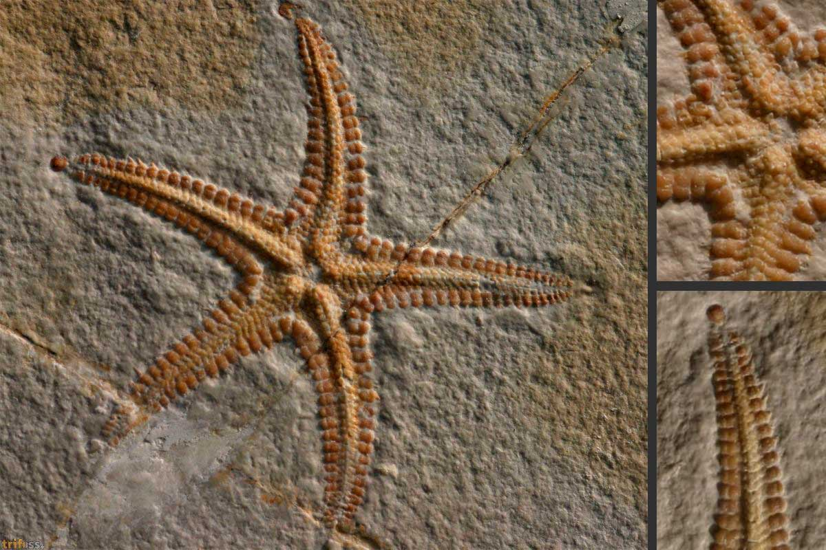 http://fossils-for-sale.de/wp-content/uploads/2017/03/Riedaster-reicheli-Kutscher-Röper-1999-1.jpg